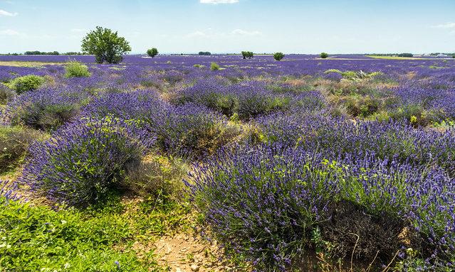 Лавандовые поля на плато Валансоль